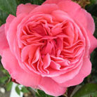 Rosa Special Anniversary  ('Whastiluc') (PBR) (rose Special Anniversary (hybrid tea))