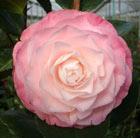 Camellia japonica 'Desire' (camellia)