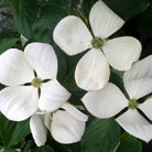 Cornus Venus  ('Kn30 8') (flowering dogwood)
