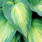 Hosta (Tardiana Group) 'June' (PBR) (plantain lily)