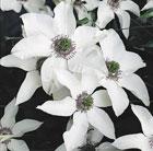 Clematis florida Pistachio ('Evirida') (PBR) (clematis (group 2))