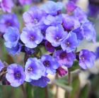 Pulmonaria 'Blue Ensign' (lungwort)