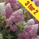 Hydrangea Vanilla Fraise 3 Plants 9cm Pot