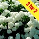 Hydrangea Annabelle 3 Plants 9cm Pot