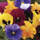 Pansy Grande Fragrance 50 Plants + 20 FREE
