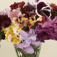 Pansy Sweet Pea 50 Plants + 20 FREE
