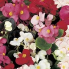 Begonia Sahara 100 Plants + 60 FREE