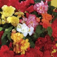 Begonia Sparkle (Trailing) 50 Plants + 20 FREE