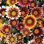 Gazania Firecracker 50 Plants + 20 FREE