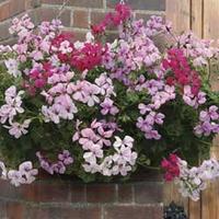 Geranium Balcony Trailing 50 Plants + 20 FREE