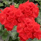 Geranium Fire Queen 50 Plants + 20 FREE
