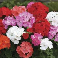 Geranium Parade 50 Plants + 20 FREE