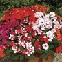 Busy Lizzie (Impatiens) Double Deluxe 100 Plants + 60 FREE