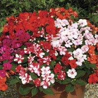 Busy Lizzie (Impatiens) Double Deluxe 50 Plants + 20 FREE