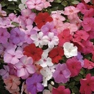 Busy Lizzie (Impatiens) Jigsaw 50 Plants + 20 FREE