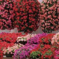 Busy Lizzie (Impatiens) Summer Waterfall 100 Plants + 60 FREE