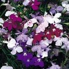 Lobelia Trail Away (Trailing) 50 Plants + 20 FREE