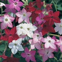 Nicotiana Essence 50 Plants + 20 FREE
