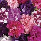 Petunia Bolero 50 Plants + 20 FREE