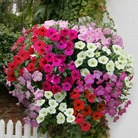 Petunia Grand Prix (Trailing) 50 Plants + 20 FREE