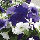 Petunia Montage 50 Plants + 20 FREE