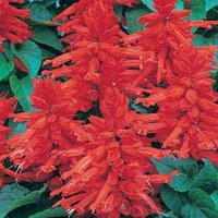Salvia Desert Fire 50 Plants + 20 FREE