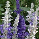Salvia Seascape 50 Plants + 20 FREE