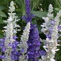 Salvia Seascape 50 Plants +20 FREE