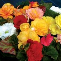 Begonia Destiny 100 Plants + 60 FREE