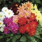 Dahlia Jewel 50 Plants + 20 FREE