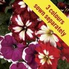 Petunia Lake Garda 50 Plants + 20 FREE