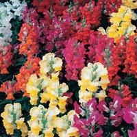 Antirrhinum Rainbow 100 Plants + 60 FREE