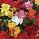 Begonia Sparkle (Trailing) 100 Plants + 60 FREE