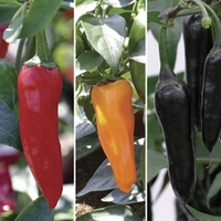Chilli Peppers 6 Jumbo Ready Plants