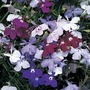 Lobelia Trail Away (Trailing) 100 Plants+ 60 FREE