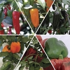 Mixed Peppers Pack 12 Jumbo Ready Plants