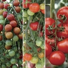 Mixed Tomatoes Pack 12 Jumbo Ready Plants
