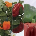Sweet Peppers 6 Jumbo Ready Plants