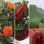 Sweet Peppers 6 Jumbo Ready Plants