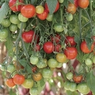 Tomato Tumbling Tom F1 12 Jumbo Ready Plants