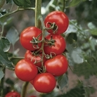 Tomato Shirley F1 12 Jumbo Ready Plants