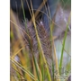 PENNISETUM alopecuroides  