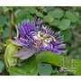 PASSIFLORA edulis  