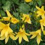 Hemerocallis lilioasphodelus (daylily)