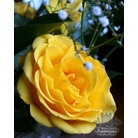 ROSA 'Golden Wedding'