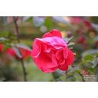 ROSA 'Scarlet Queen Elizabeth'