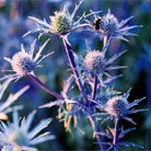 Eryngium bourgatii 'Picos Amethyst' (sea holly)