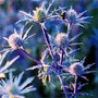 Eryngium bourgatii &#x27;Picos Amethyst&#x27; (sea holly)