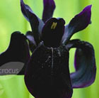 Iris chrysographes black flowered (Siberian iris)