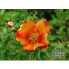 POTENTILLA fruticosa 'Sunset'